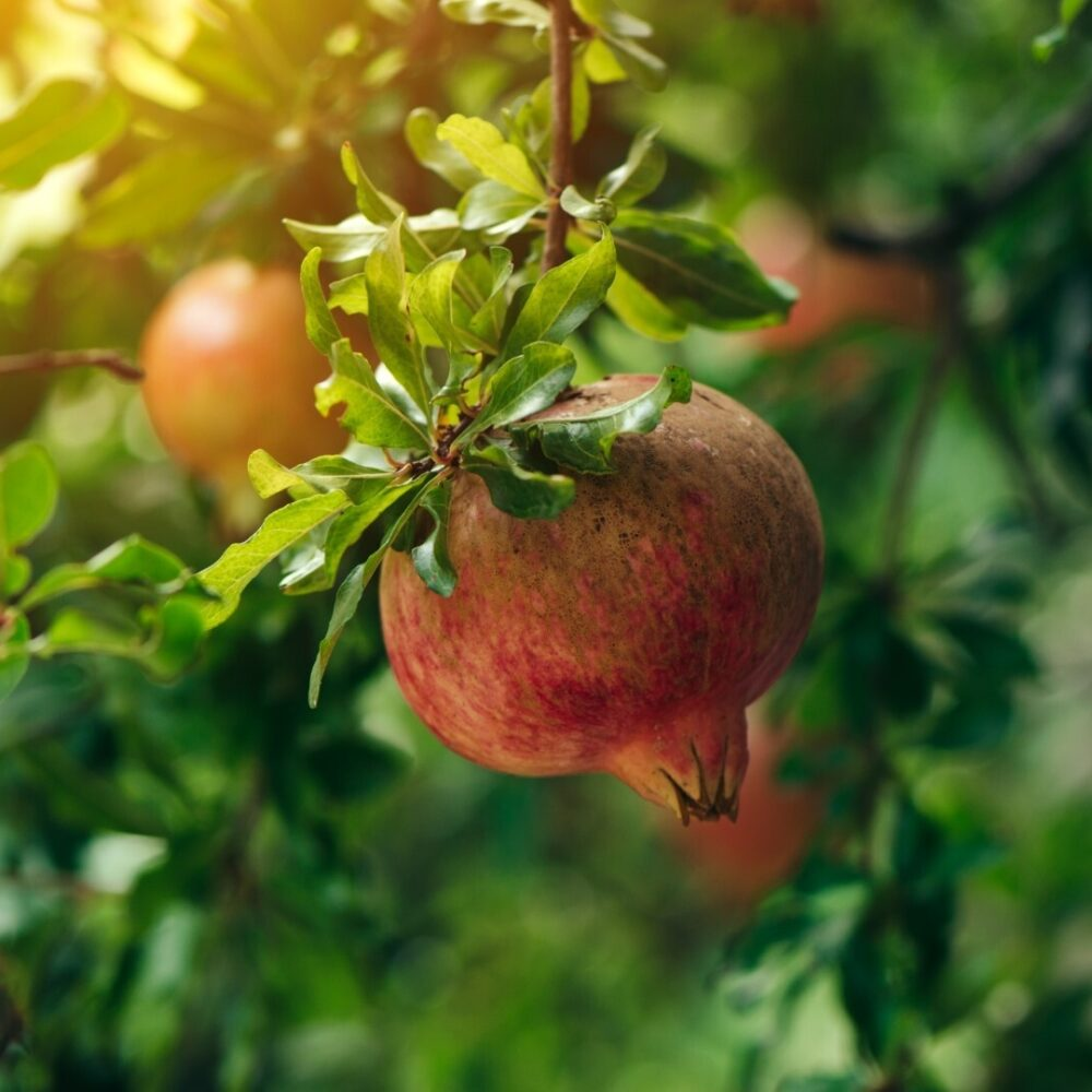 Ripe pomegranate fruit on the tree branch Large