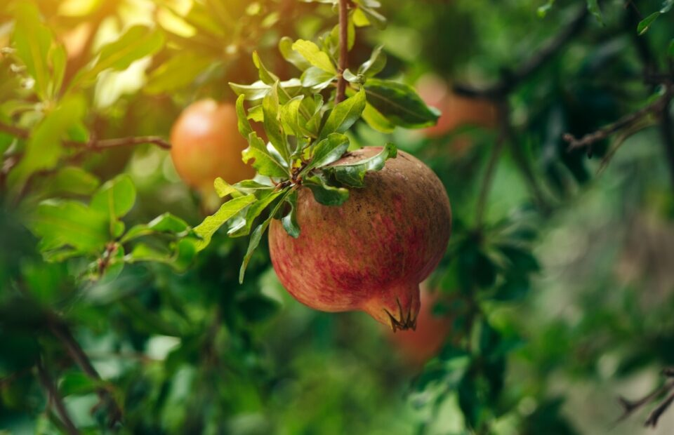 ViewPomegranate seeds are officially 'Good Food'